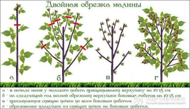 Обрезка малины весной: виды и сроки обрезки, уход после процедуры